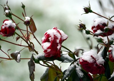 lunta ja ruusuja